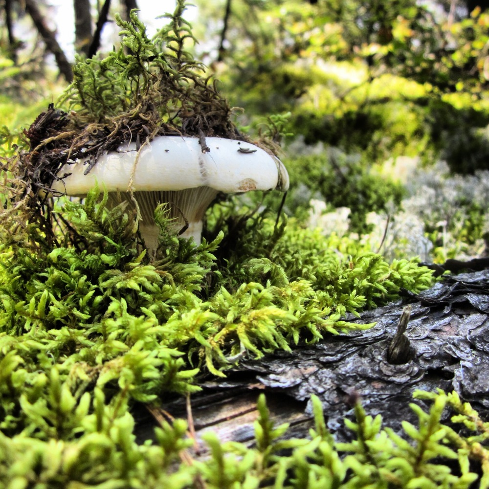 BWCA Mushroom