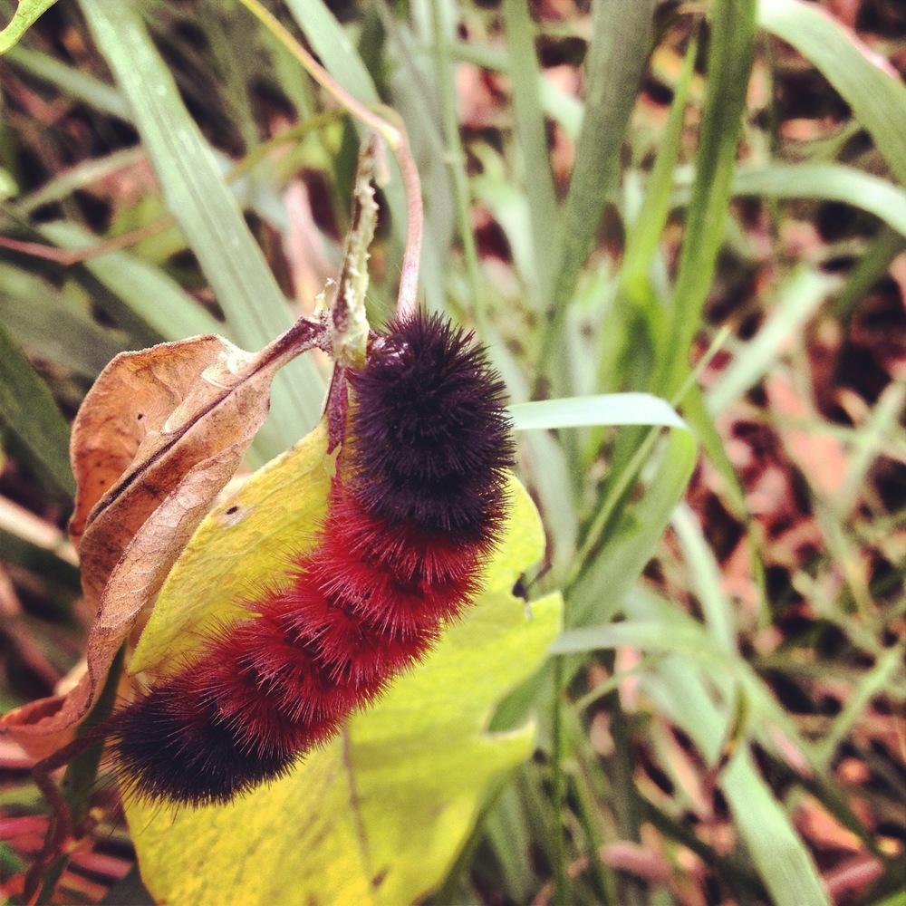 Caterpillar at Camden State Park