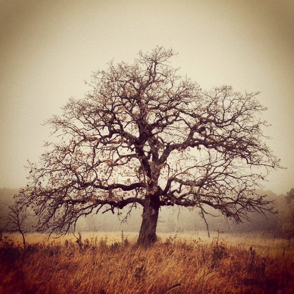 The Richardson Oak standing idyllically in the prairie in autumn.