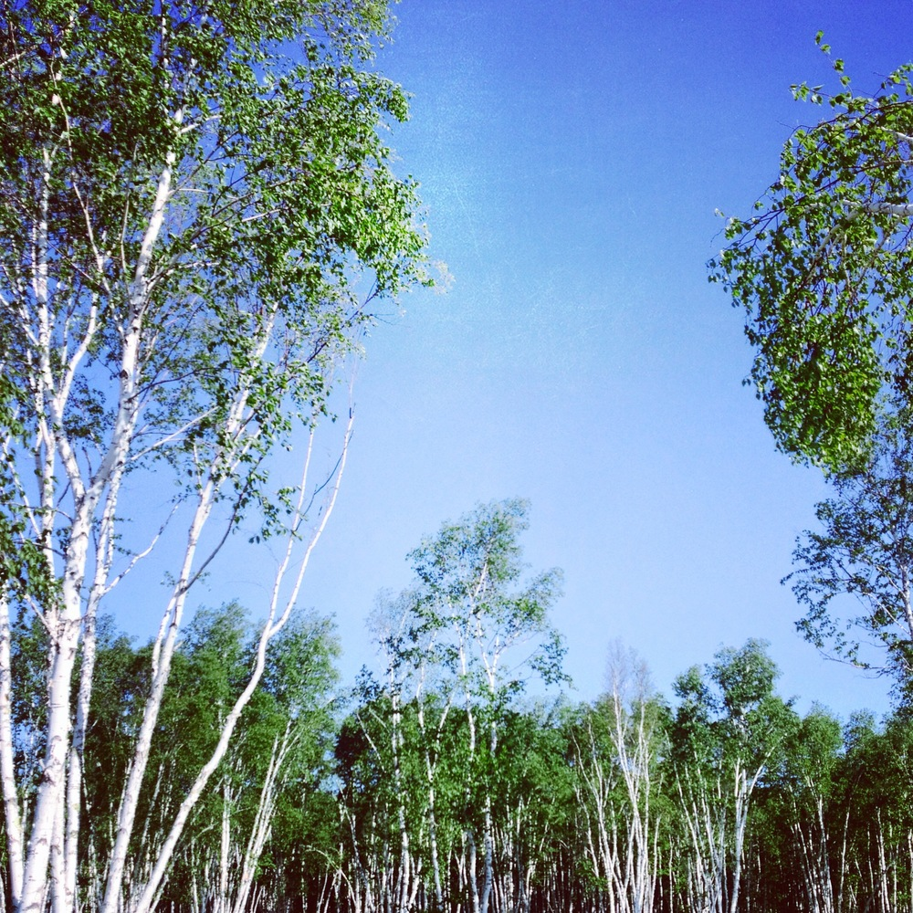 Birch Grove at Zippel Bay State Park