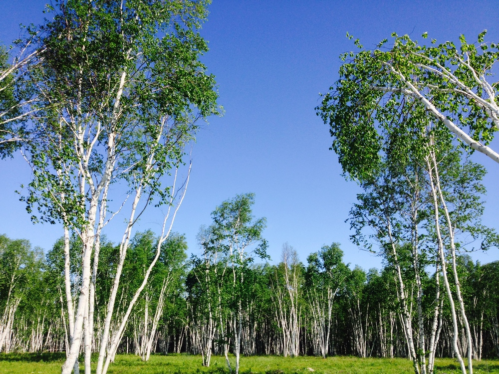 Birch Groves