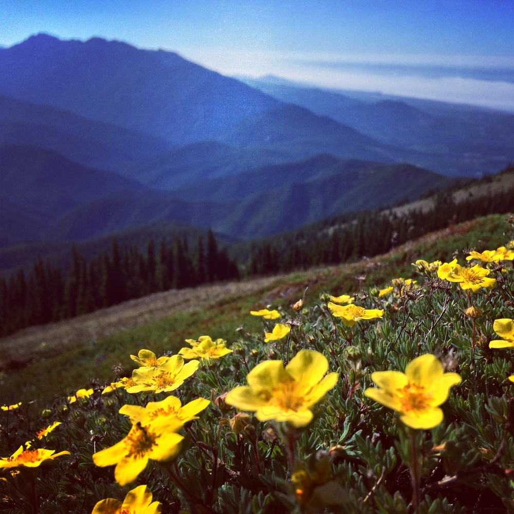 Summer Wildflower blooming on the peak of Blue Mountain in Olympic National Park