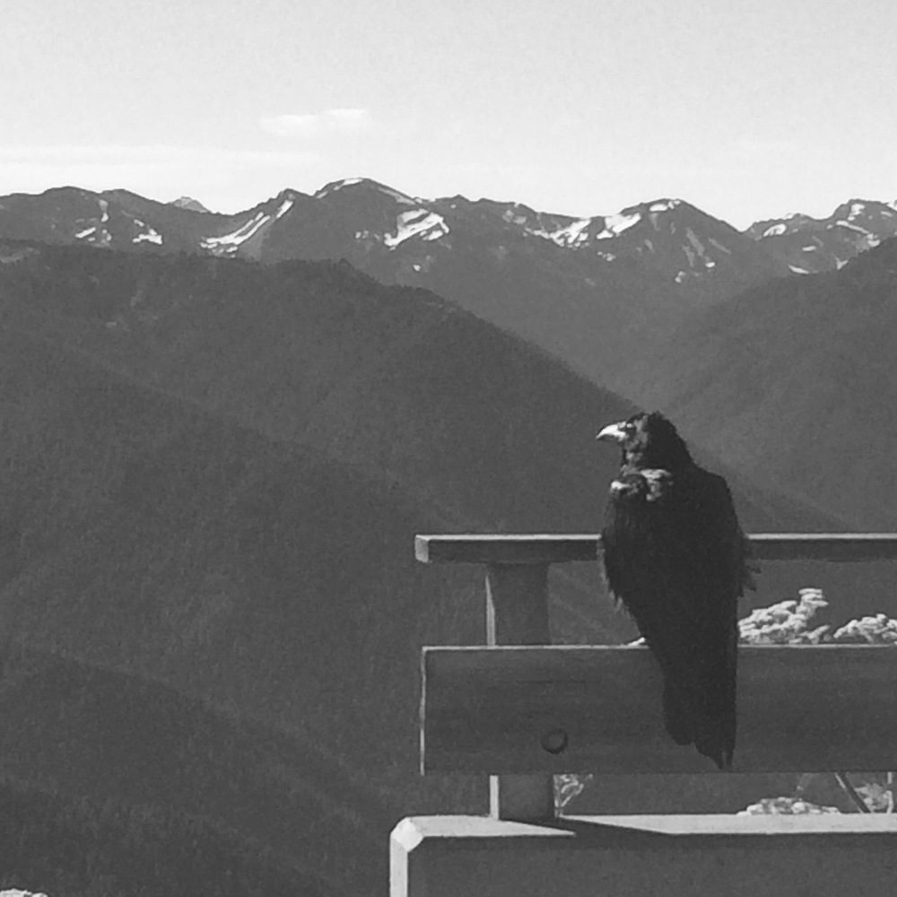 A raven contemplates the beauty of the mountains at Hurricane Ridge in Olympic National Park