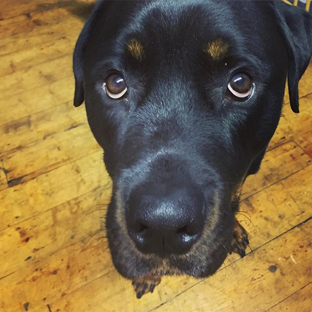 Why you no buy me lots of snausages? . Lovely pic taken by him's Mam - @youmakeme_design :') . #myrottieisahottie #rottweilersofig #thoseeyes #buddythepawsomepoochofboobooandted #pawsomepoochesofboobooandted