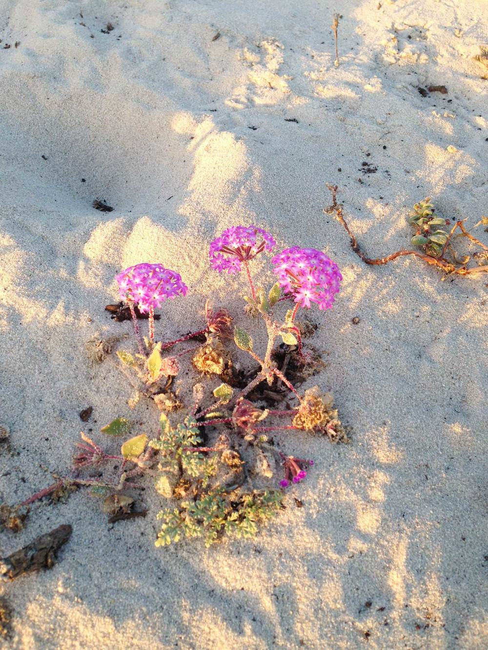 The dunes are home to a number of plants that thrive in the sandy environment. You can even take a self-guided audio tour.