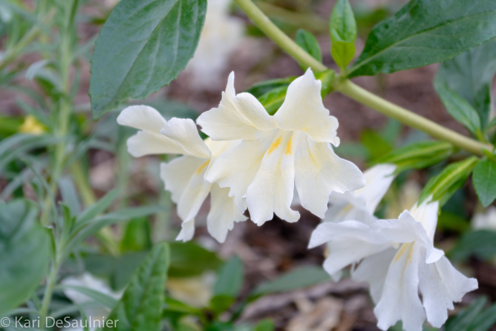 whiteblooms.jpg