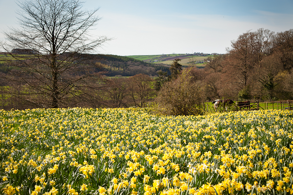 A sea of golden daffodils marks the bloom of spring.