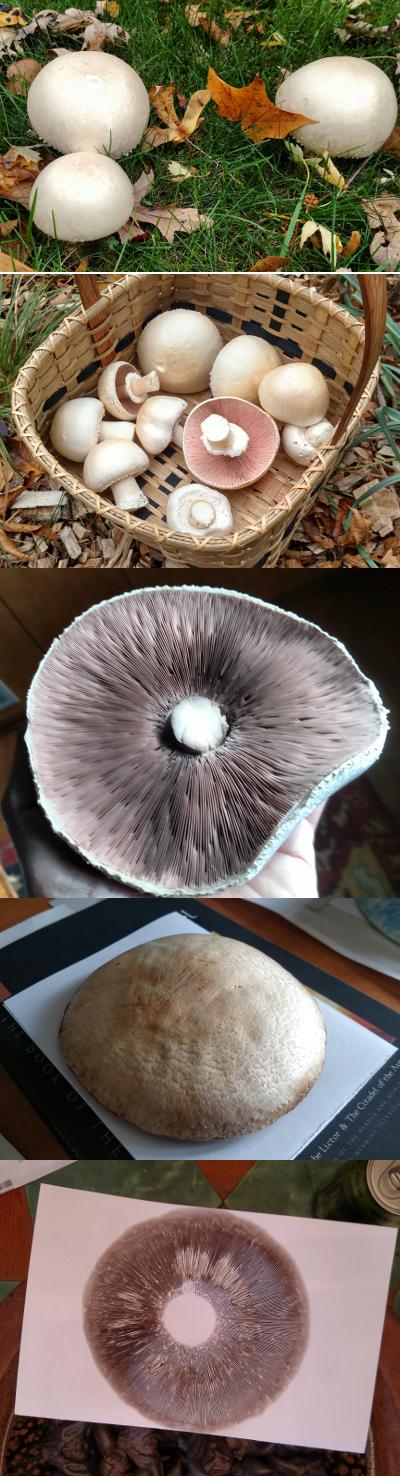 "Agaricus arvensis  or ""horse mushroom"""