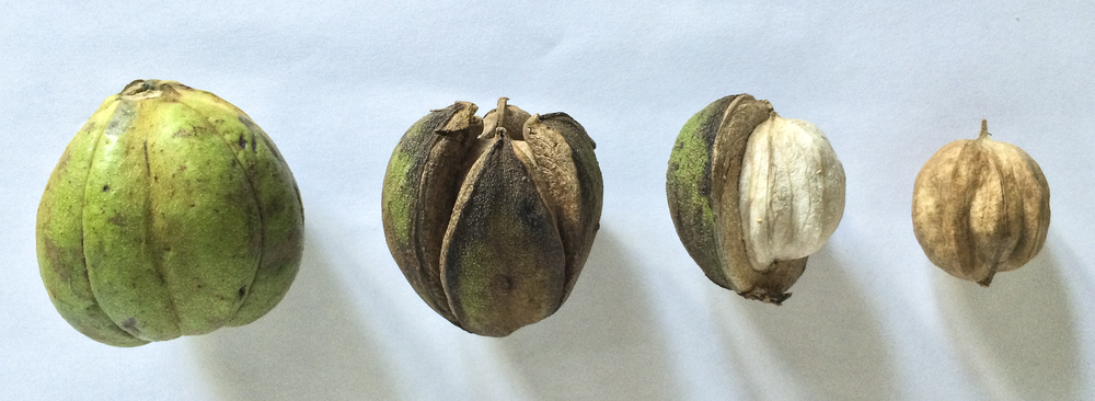 Shagbark Hickory Nut Stages