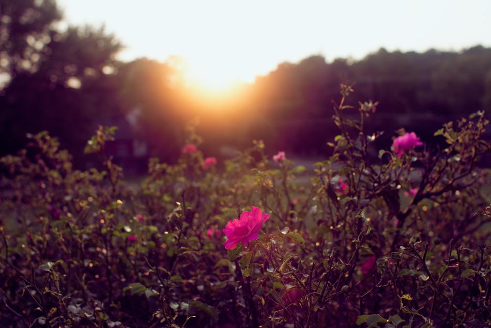 roses-sunset.jpg