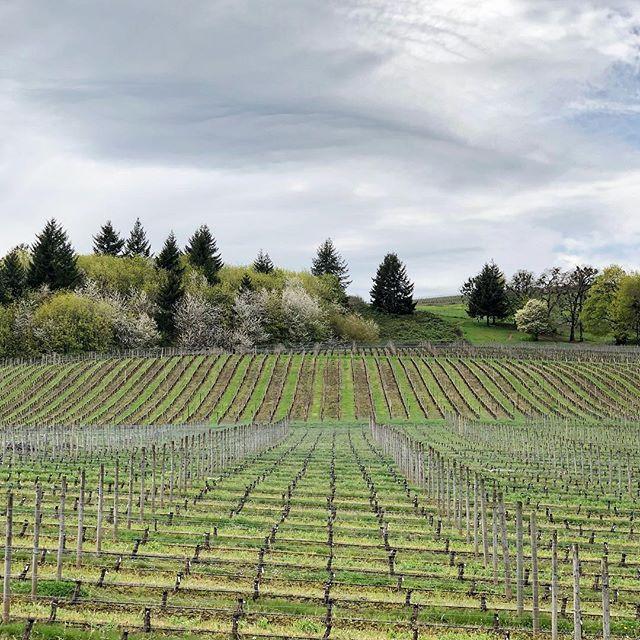 Root exploration. #oregon #cristom #vineyard #wine #recordingwine