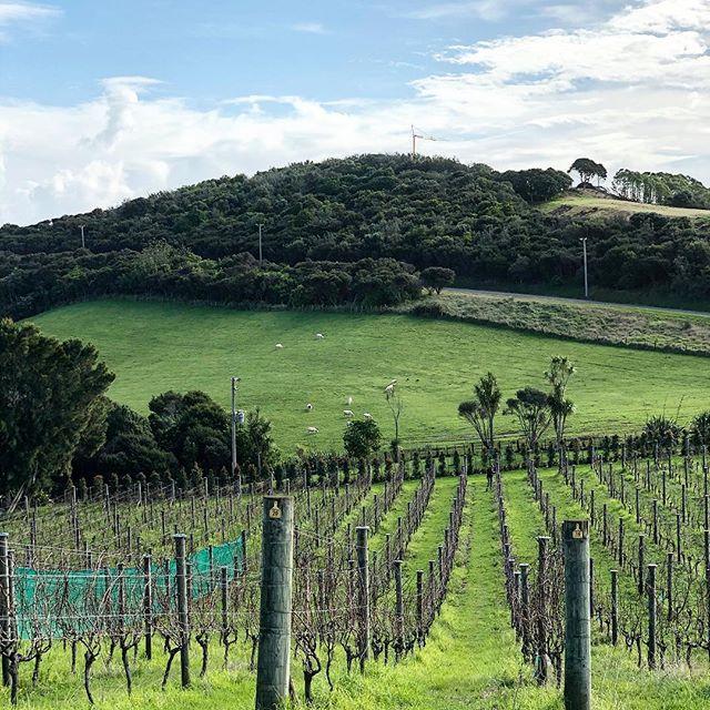 Vineyards on the other side of the world. Surprised by the terroir on Waiheke Island. #newzealand #waiheke #vineyard #wine