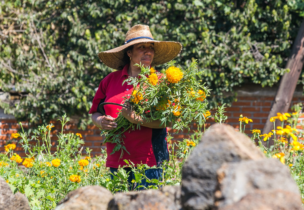 11/1/17 - Luz Marie picks marigolds behind the local church in Santa Fe.