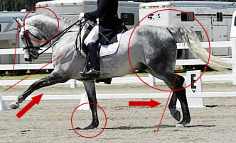 An excerpt photo showing all kinds of things that I try to point out from common hoof care practices via my case studies analyses. Here, though, let's just focus on the diagonal trotting legs in motion. They are uncoordinated in angle of incidence (don't line up) which is classic base wide energetics, broken back, rotated pelvis, effectively heavy front end etc. etc.
