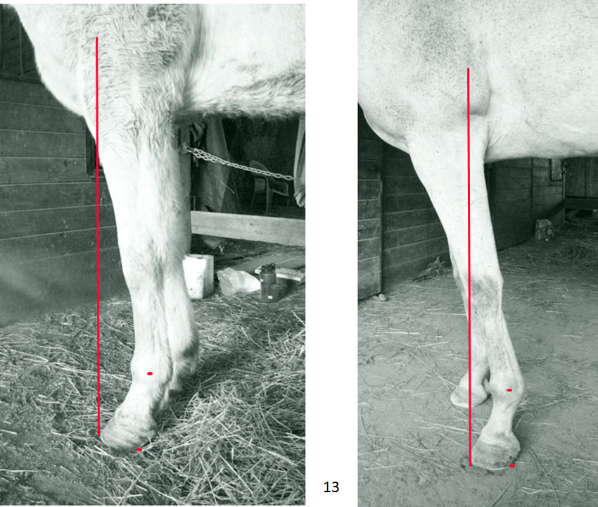 "Suposition: Functional subluxation of the fetlock (and pastern) joint. Overtrimming the toe = heel migration anterior over time which equals the breaking down, literally, of the fetlock joint, which literally equals functional subluxation of the fetlock (and pastern) joint. When you corrupt the hoof capsule with unnatural form, you destroy body alignment. This equals the pursuit of lameness. I have taken the horse on the left to an aligned limb on the right. See my ""natural collection"" presentation for many examples of this and its affects on the body."