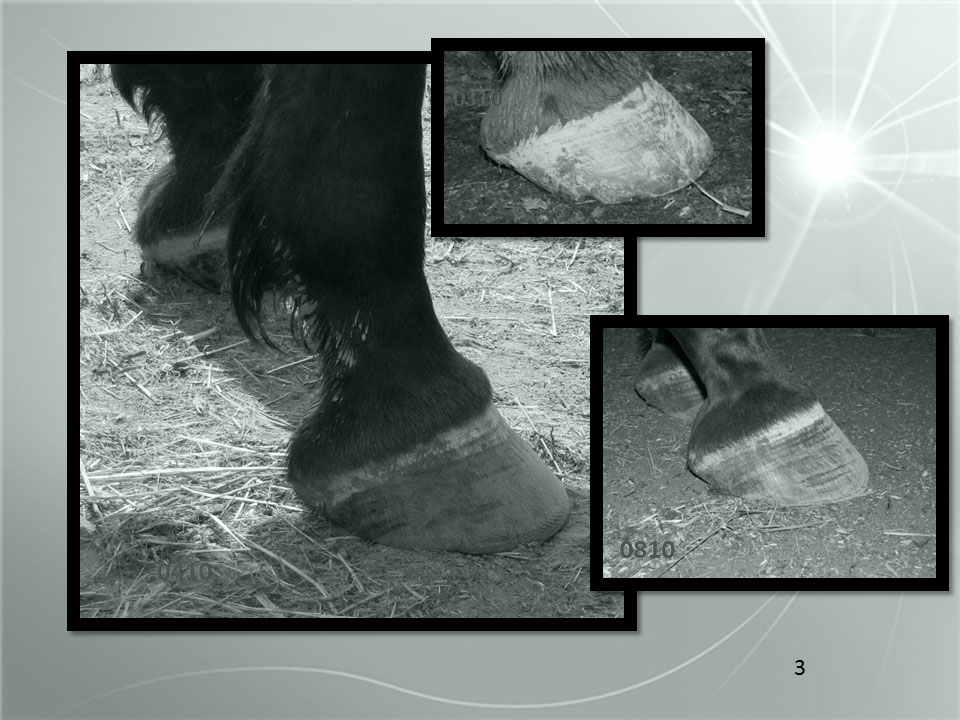 "And what does that mean for breakover? Well, let me show you! We now have grown a tighter breakover by any measure (relative to hoof or body) and we have a great caudal aspect to the hoof and we have the hoof capsule in line with the skeleton. Getting back to the lay person's soft focus. do you see how the hoof appears to be "" painted on"" the end of the limb back in March? By August, it no longer looks painted on. Instead it looks to be one organic contstruct. The hoof and limb are now part of one continuum."