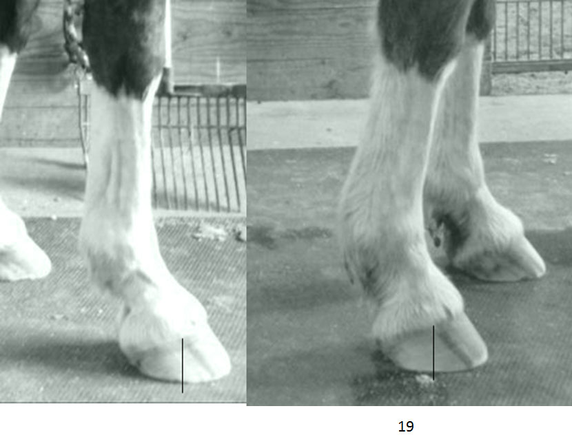 Before and After - Building Caudal Hoof Mass