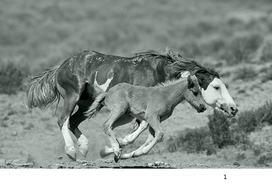 Wild horses in optimal feral habitat
