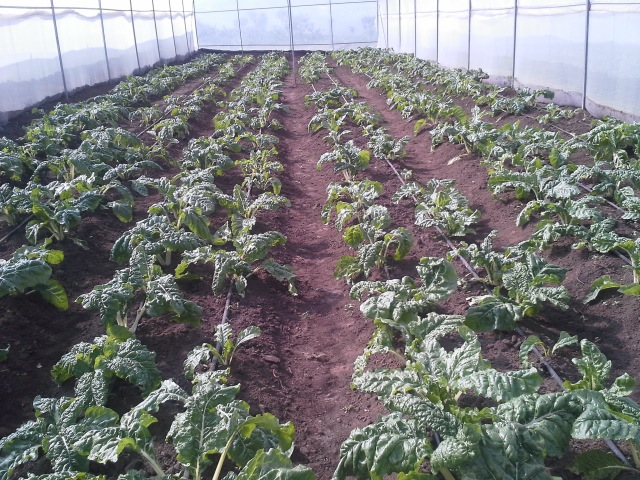 Free The Children's Oleleshwa Farm's greenhouses burst with fresh produce and are training ground for local farmers.