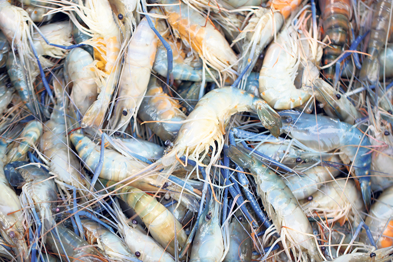 Dr. Rogers believes the shell of shrimp can be of equal value as the meat. He and his team have developed a process for extracting chitin, a polymer that can replace material currently made from oil or petroleum-based chemicals. istockphoto.com