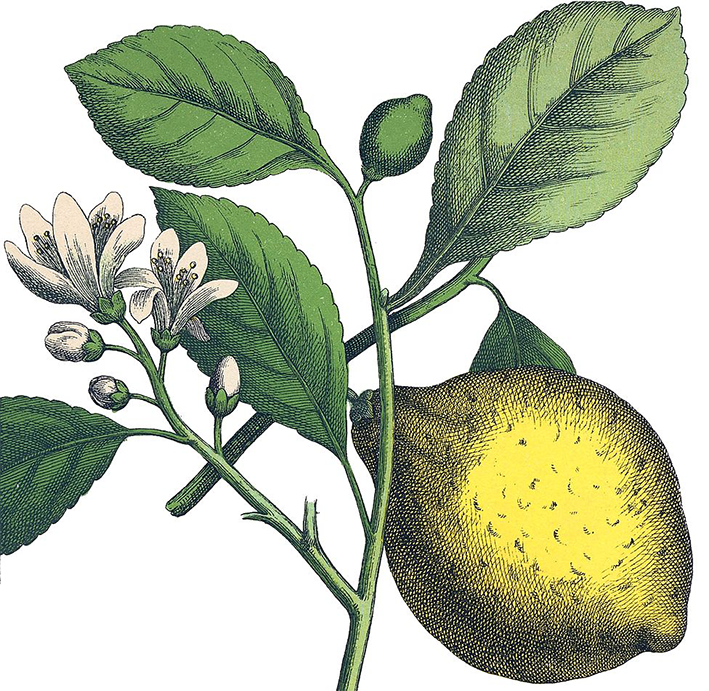 "Heinrich Mortiz Willkomm , ""Lemon Tree"" -  Natural History of the Plant World , 4th Edition, Esslingen and Munich."