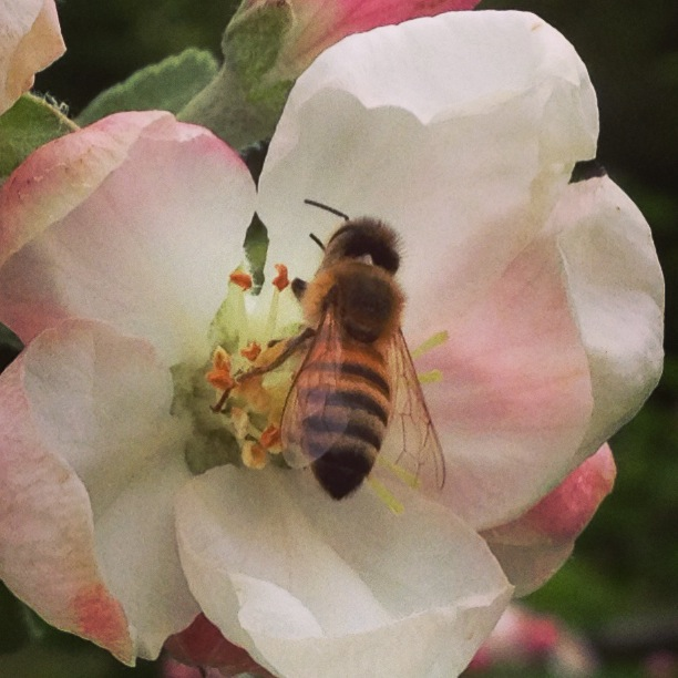 Honey Bee in Apple Blossom