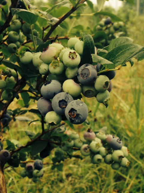 Ripening Blueberries. Photo by M. Whitworth