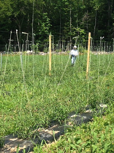 Trellising Tomatoes to Suport the Swelling Fruit