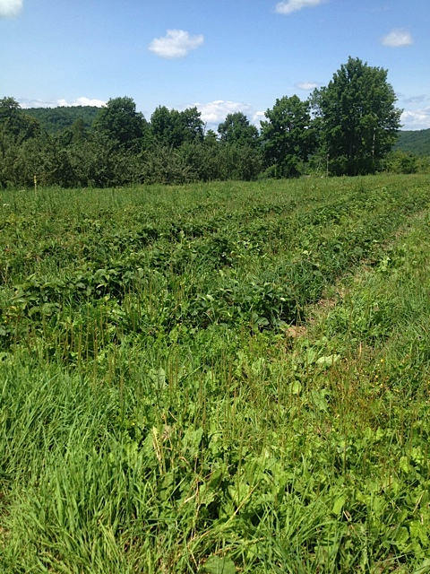 An Example of How Quickly Weeds Take Over, This is One of Our Strawberry Fields We Lost to Weeds