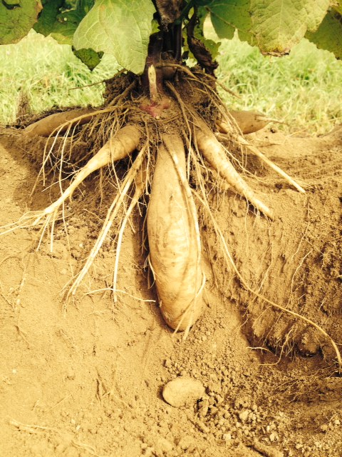 Yacon- a tuberous vegetable shown unearthed in this picture.