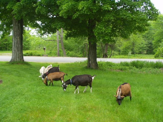 Goats Grazing at Harmony Farm