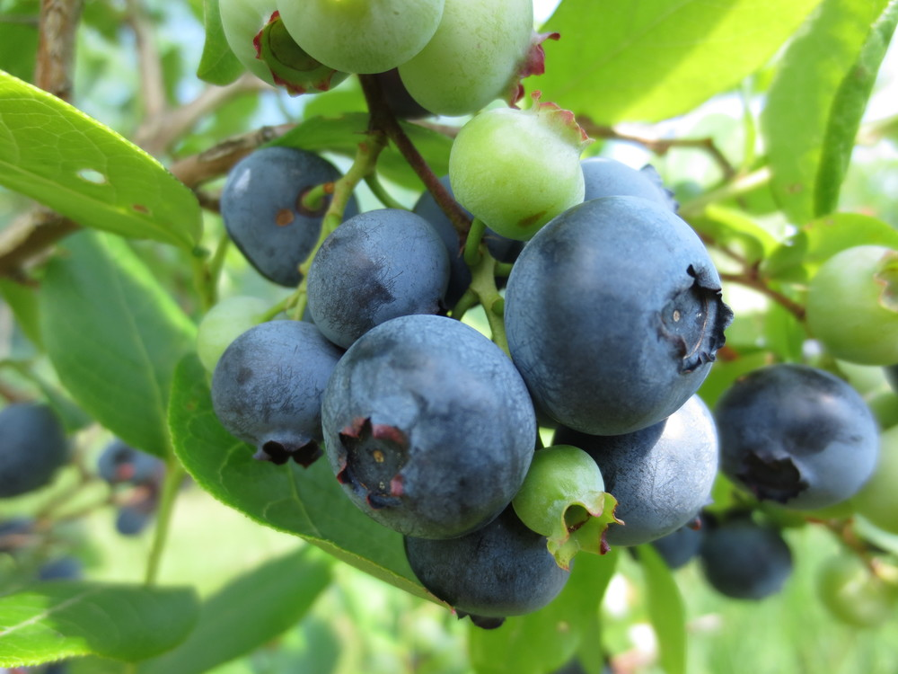 PYO blueberries now open!