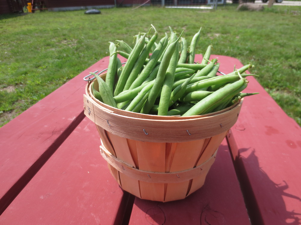 Freshly Picked Green Beans