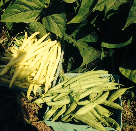 Green and Yellow Beans .JPG