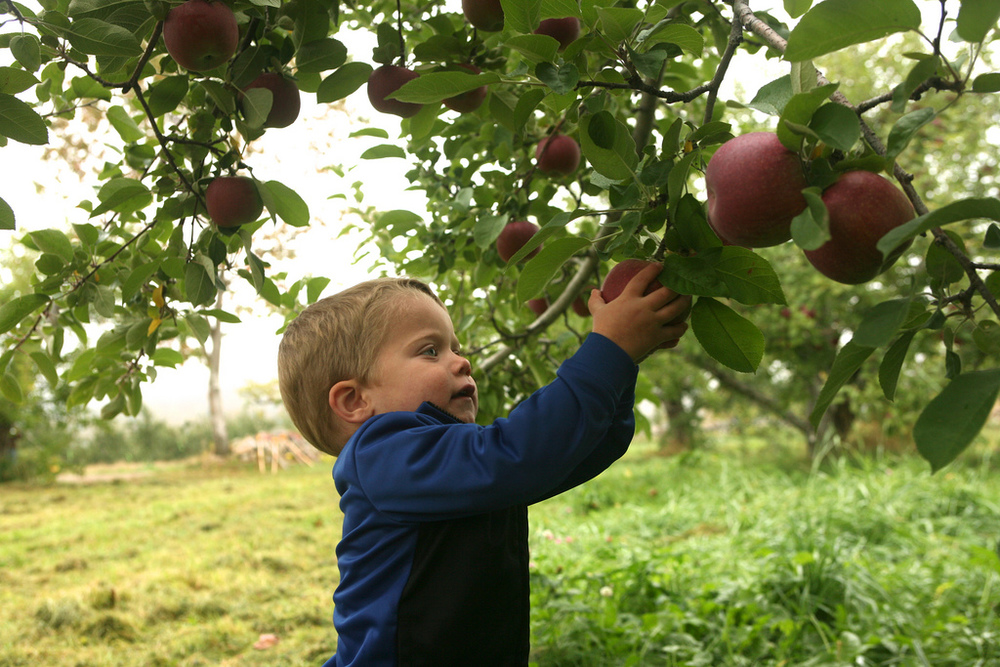 Pick-Your-Own Apples With Us Starting September 5, 2015!