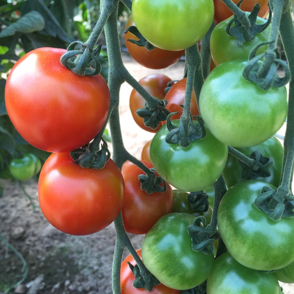 TomatoesGreenHouse2015.JPG