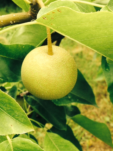 An Asian Pear Ripening On The Tree
