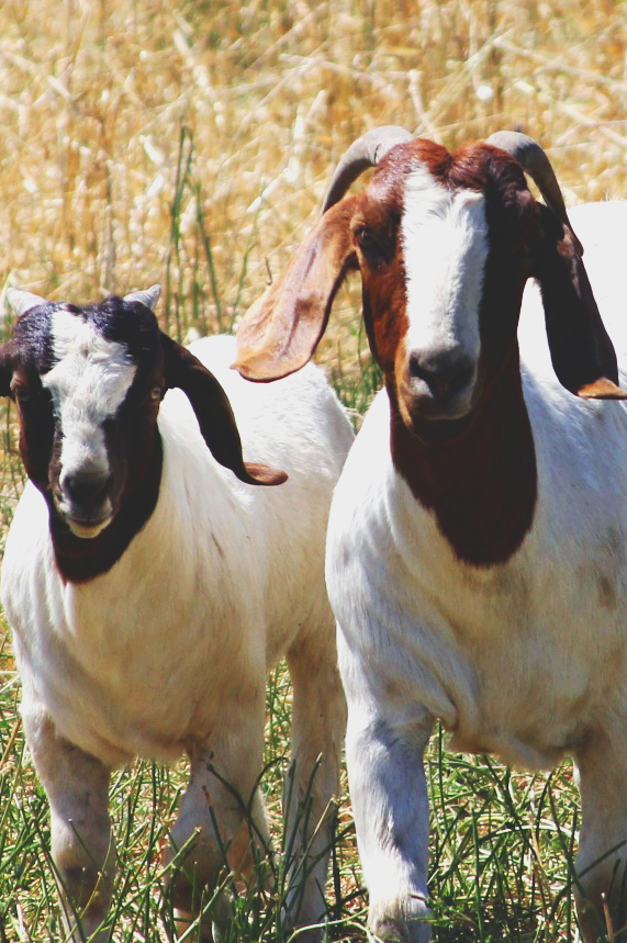 goatsclose.jpg