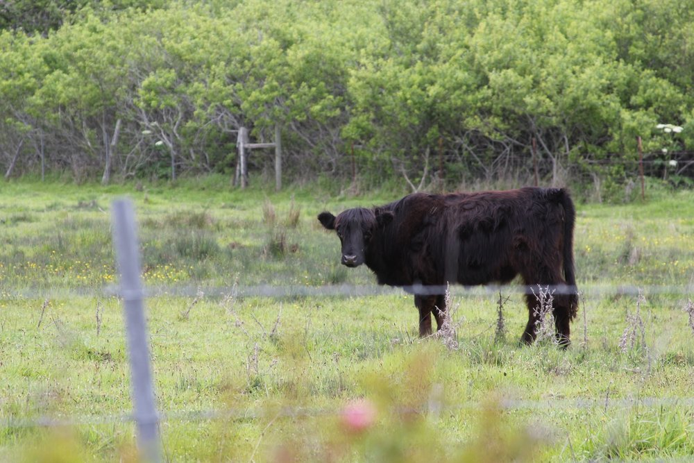 The hills of the Mendocino South Coast are filled with happily grazing Highland cows.