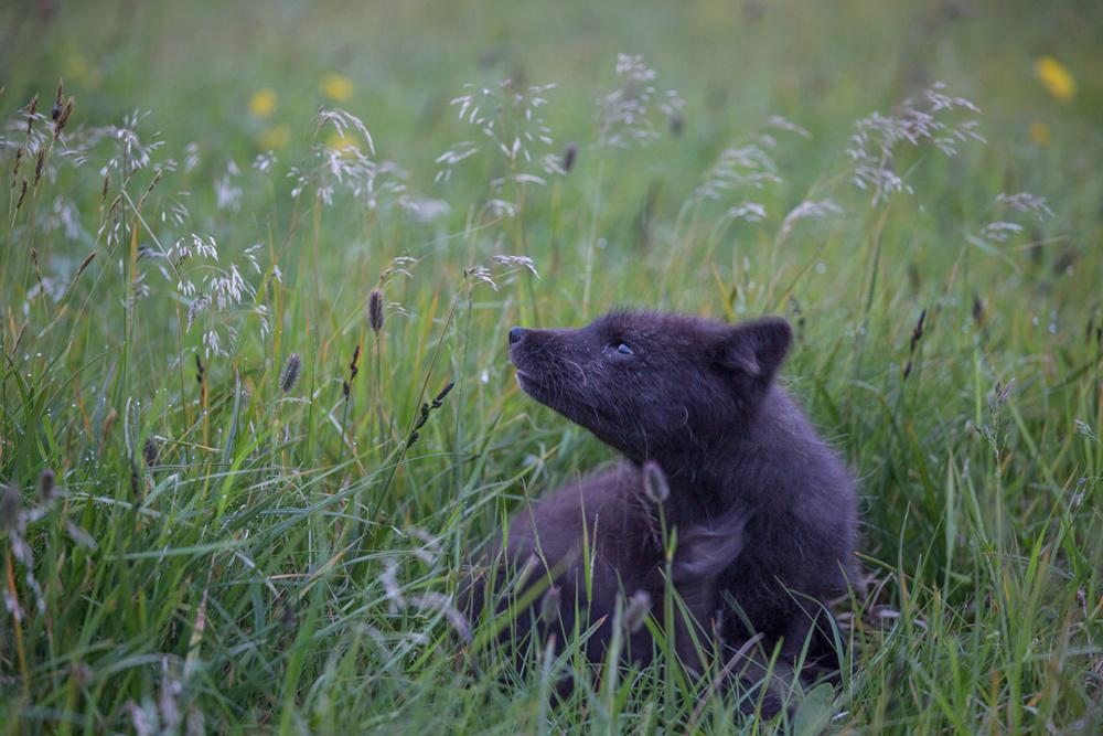 Arctic fox in the brush
