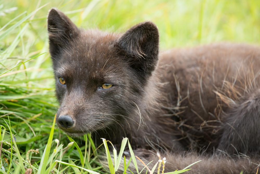Arctic fox waiting for more hotdogs