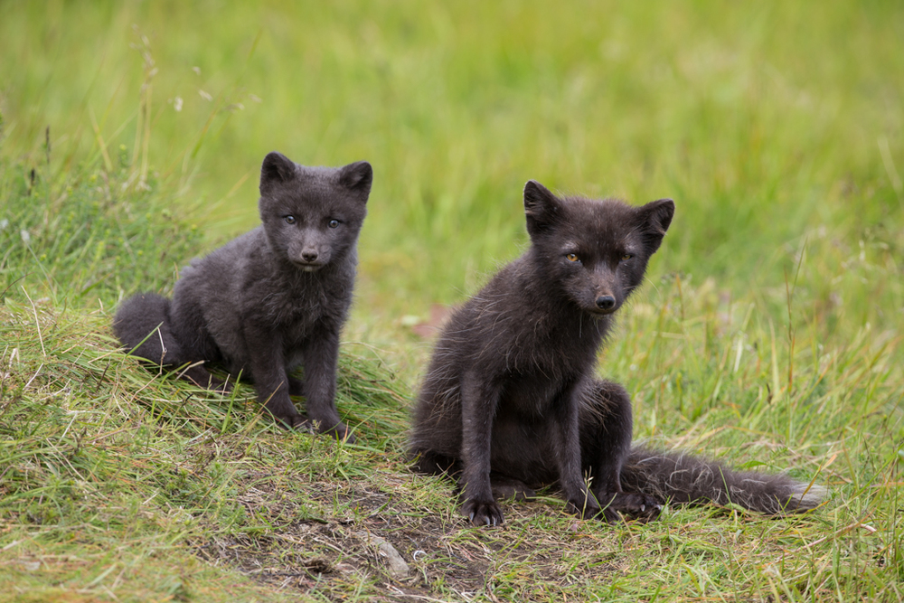 Arctic fox with puppy