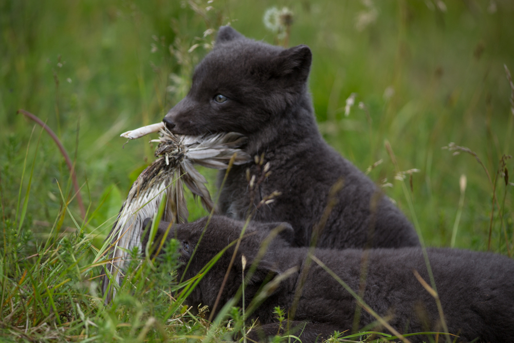Fox puppy playing with bird feathers