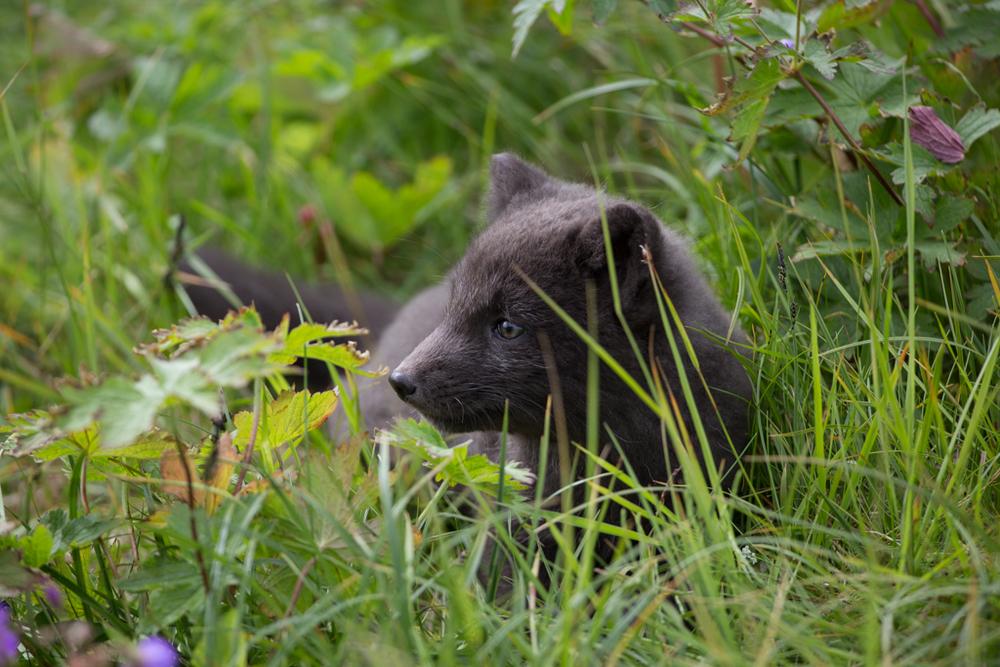 Fox puppy in dense bush