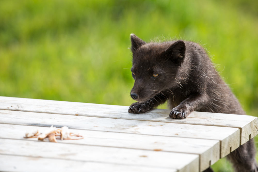 Arctic fox attracted by tasty ham