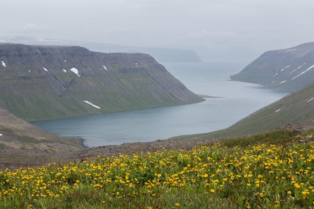 Yellow field of flowers above a fjord