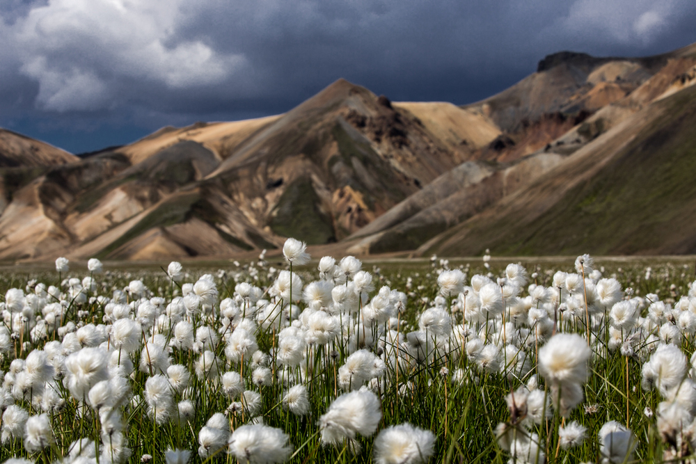 Cotton grass on the Laugavegur trail