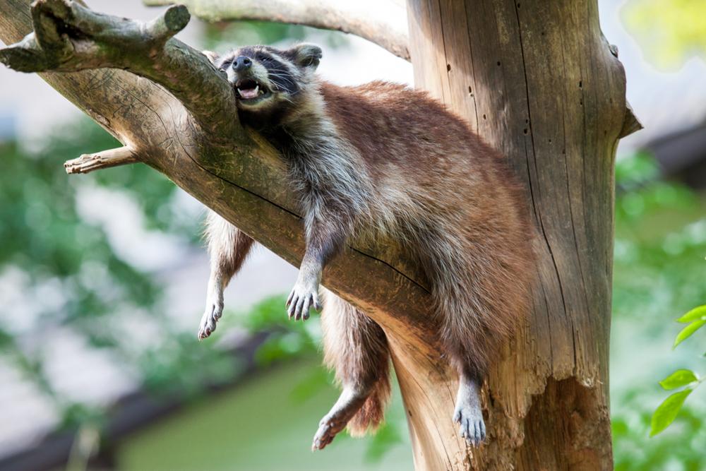 Relaxing racoon