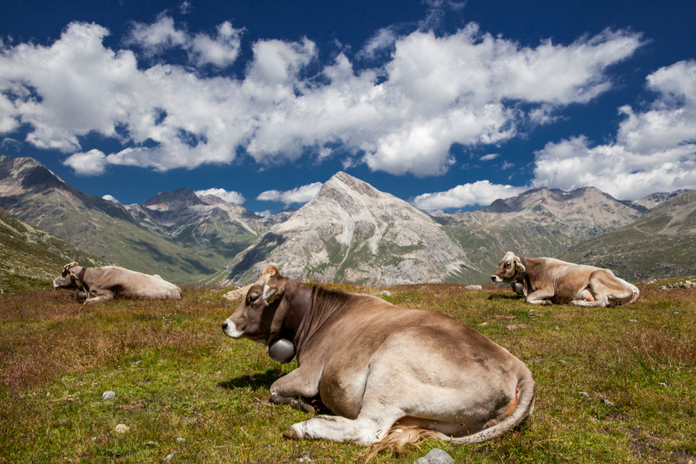 Cows in Engadin