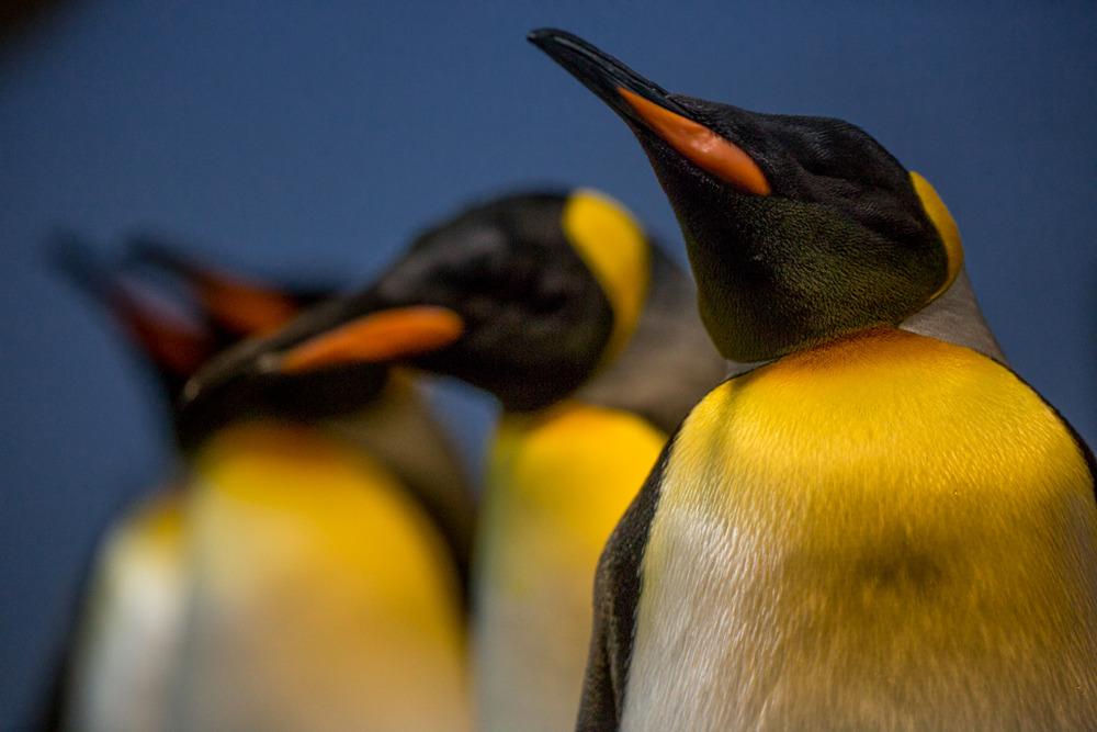 Penguins in Zurich Zoo.